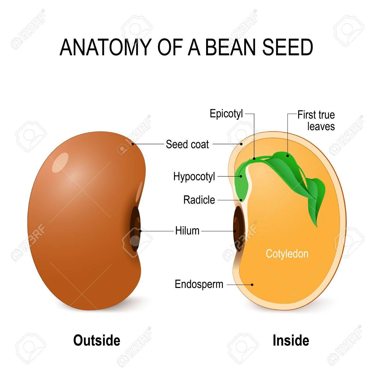 Anatomía De Una Semilla De Frijol. Diagrama Vectorial Ilustraciones ...