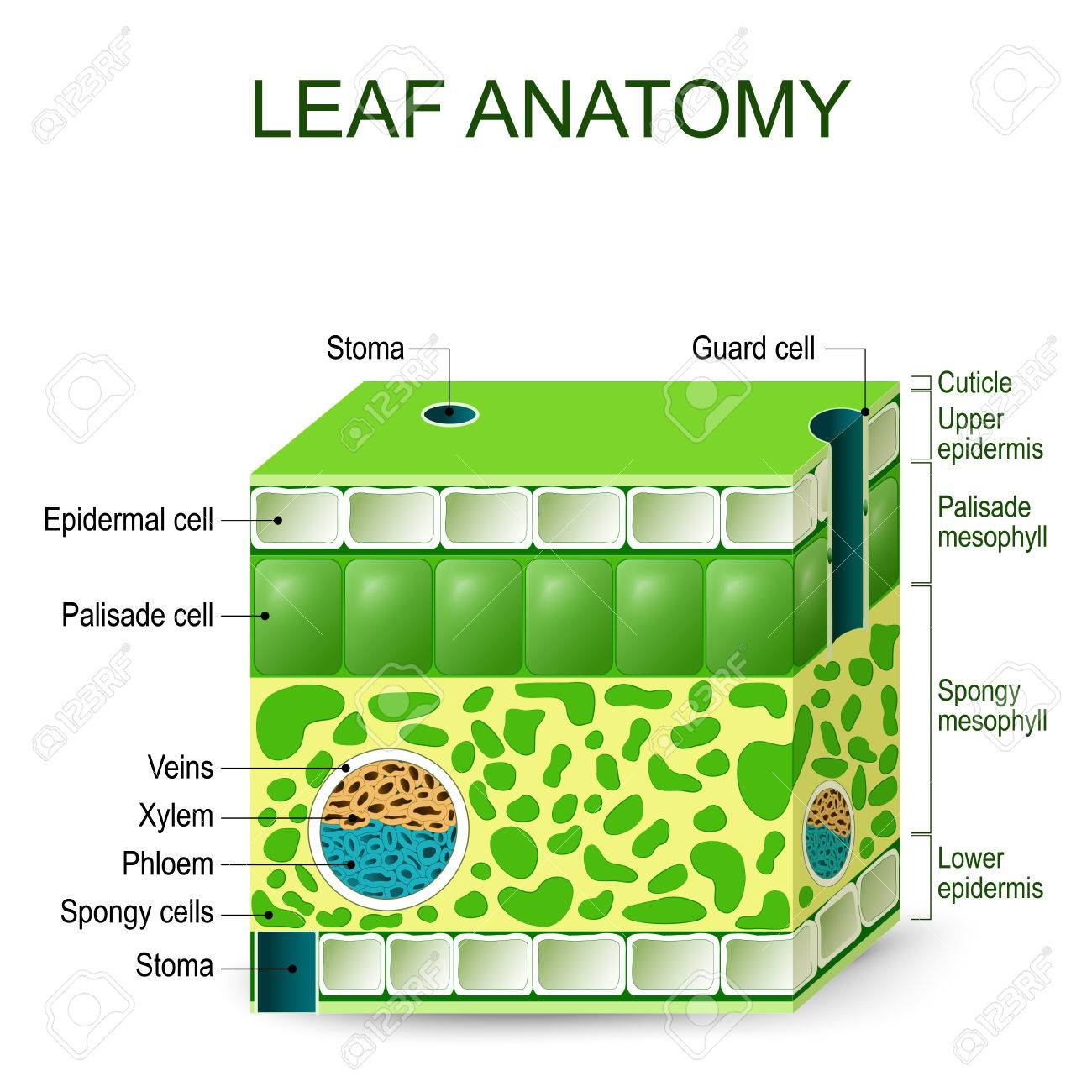 Leaf anatomy vector diagram on a white background royalty free leaf anatomy vector diagram on a white background stock vector 75075059 pooptronica Choice Image