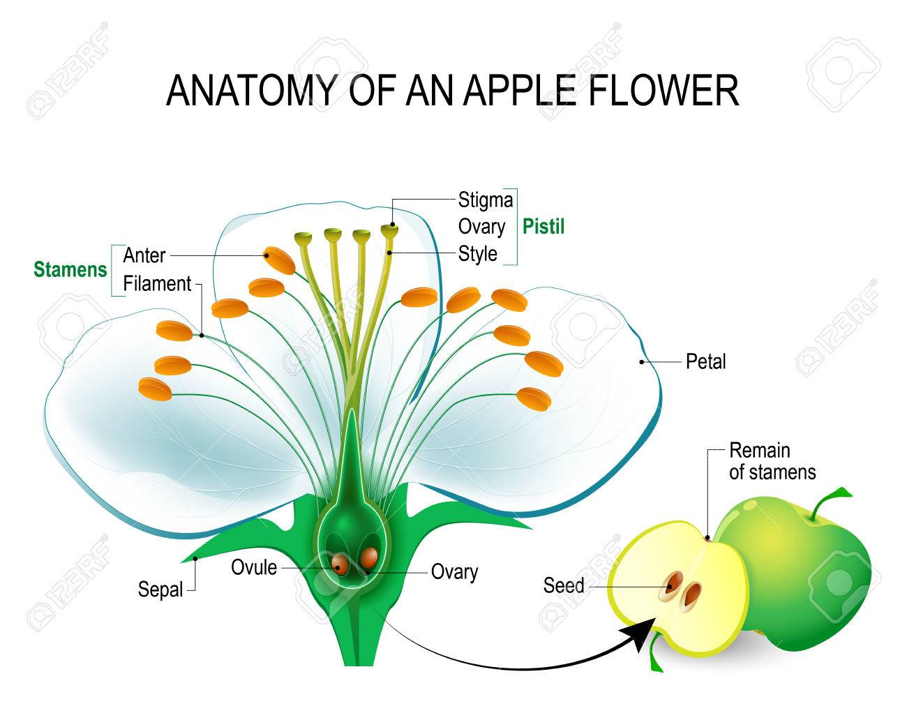 Anatomy of an apple flower. Flower Parts. Detailed Diagram with cross section. useful for study botany and science education. Flower and fruit - 75144917