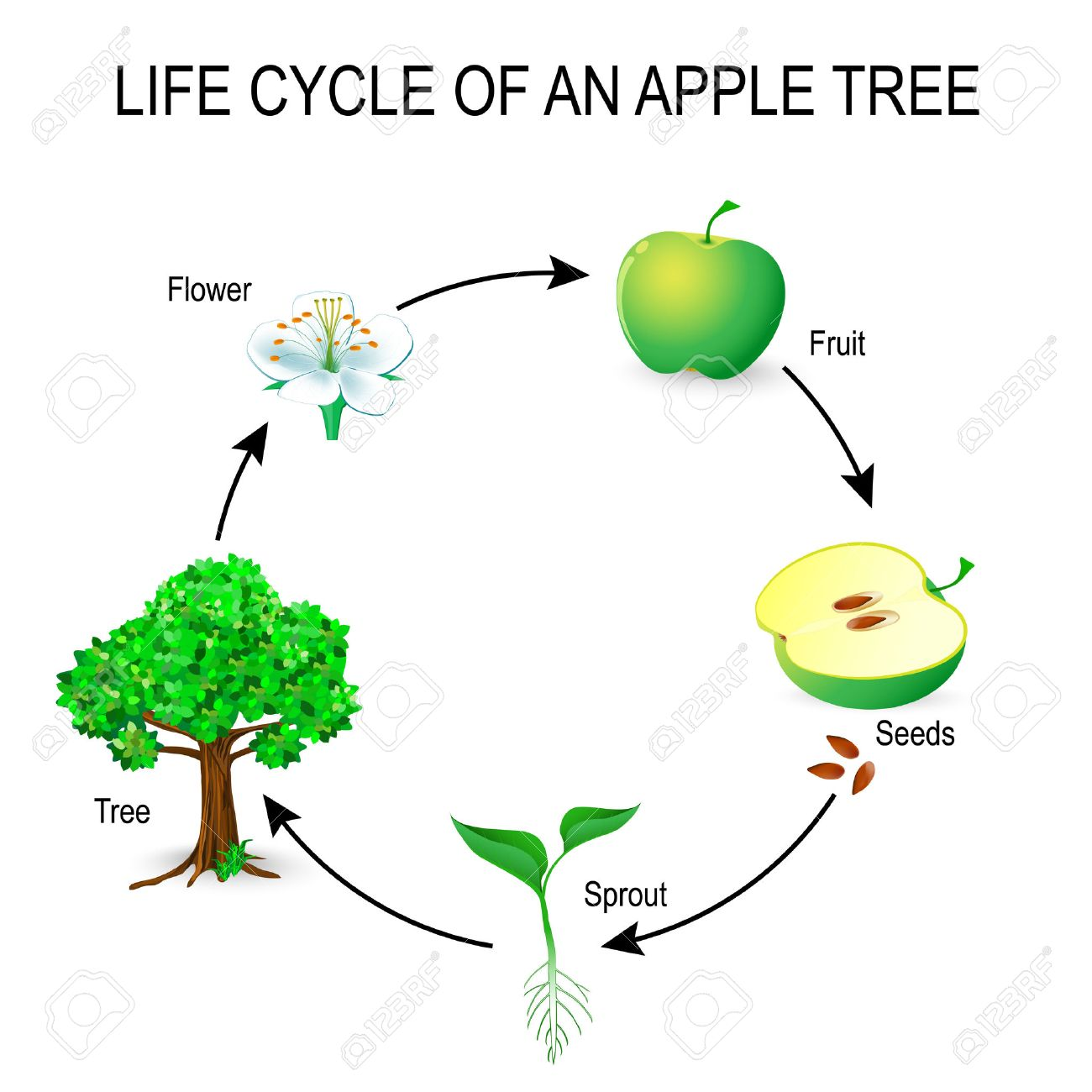 Life cycle of an apple tree flower seeds fruit sprout seed life cycle of an apple tree flower seeds fruit sprout seed pooptronica Images