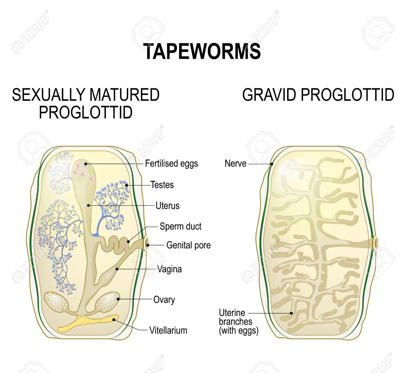 Proglottid Of Taperworms Sexually Mature Proglottid And Gravid