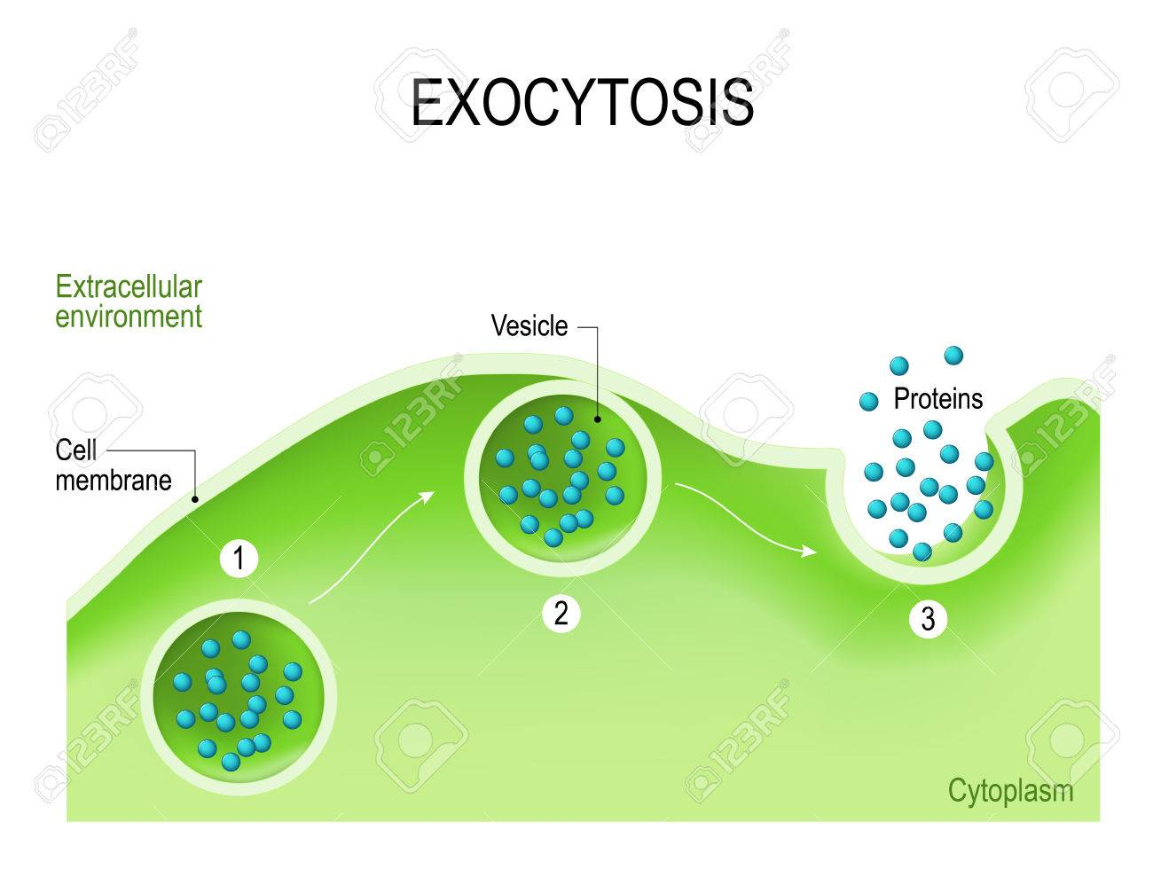 Exocytosis. Cell transports molecules out of the cell. vesicles are carried to the cell membrane, fuses with membrane, contents are secreted into the extracellular environment. - 77744419
