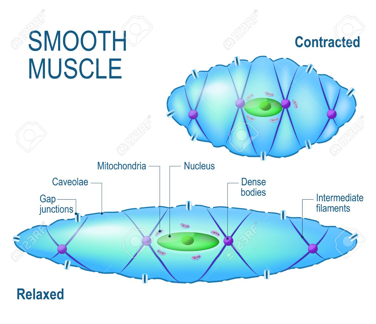 Smooth Muscle Cell Anatomy Of A Relaxed And Contracted Smooth