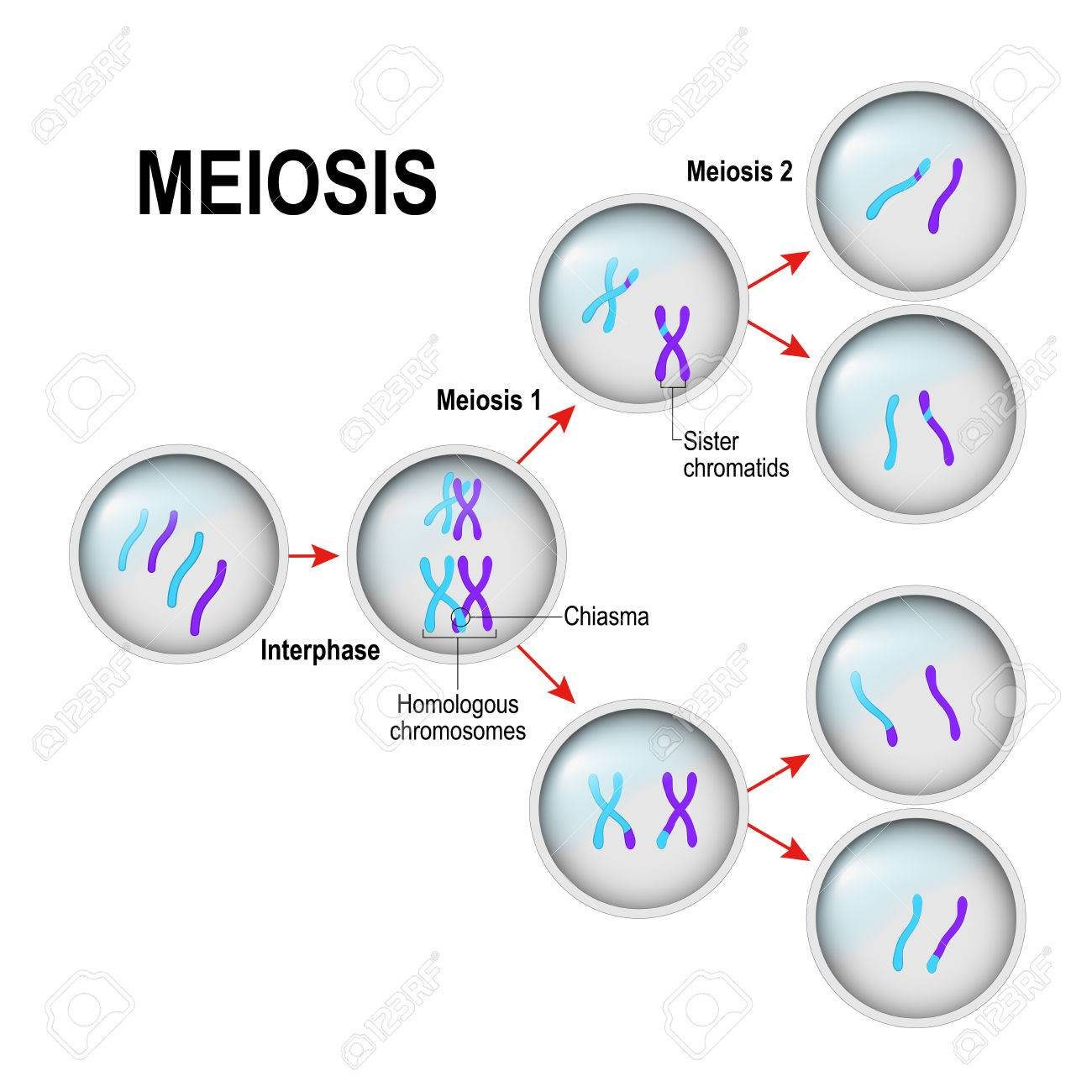 Meiosis cell division and interphase in the illustration labeled meiosis cell division and interphase in the illustration labeled chiasma sister chromatids and pooptronica