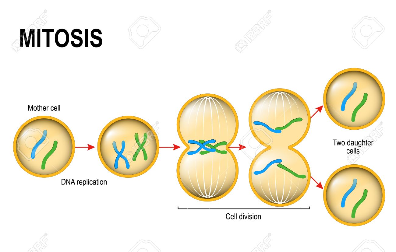 Cell division mitosis vector scheme royalty free cliparts vectors cell division mitosis vector scheme stock vector 78687894 ccuart Image collections