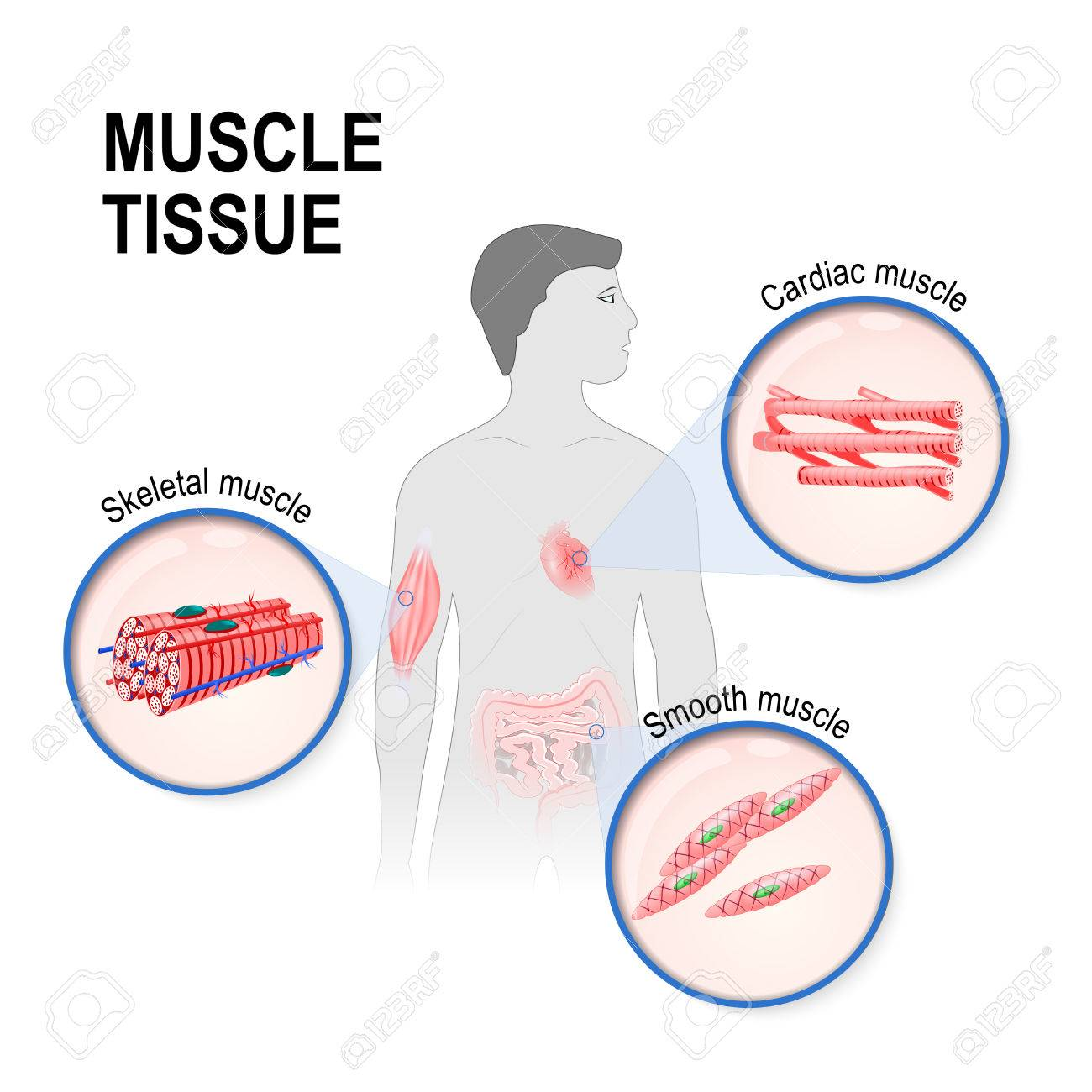Types Of Muscle Tissue Skeletal Smooth And Cardiac Muscle