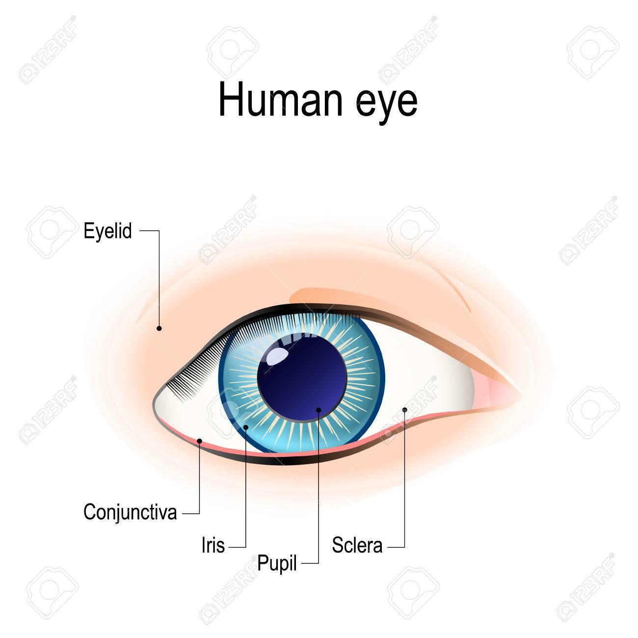 Anatomía Del Ojo Humano En Frente Externo Vista. Diagrama ...