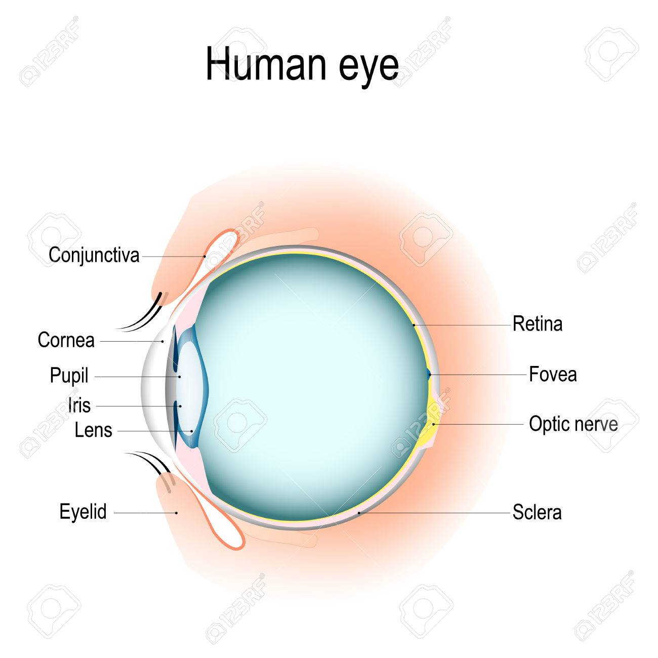 Anatomy of the eye, vertical section of the eye and eyelids... on cross section of the eye, flowchart of the eye, schematic eye retinoscopy, sagittal section of the eye, schematic section of the human eye, cutaway view of the eye, midsagittal section of the eye, transverse section of the eye, cross section diagram of eye,