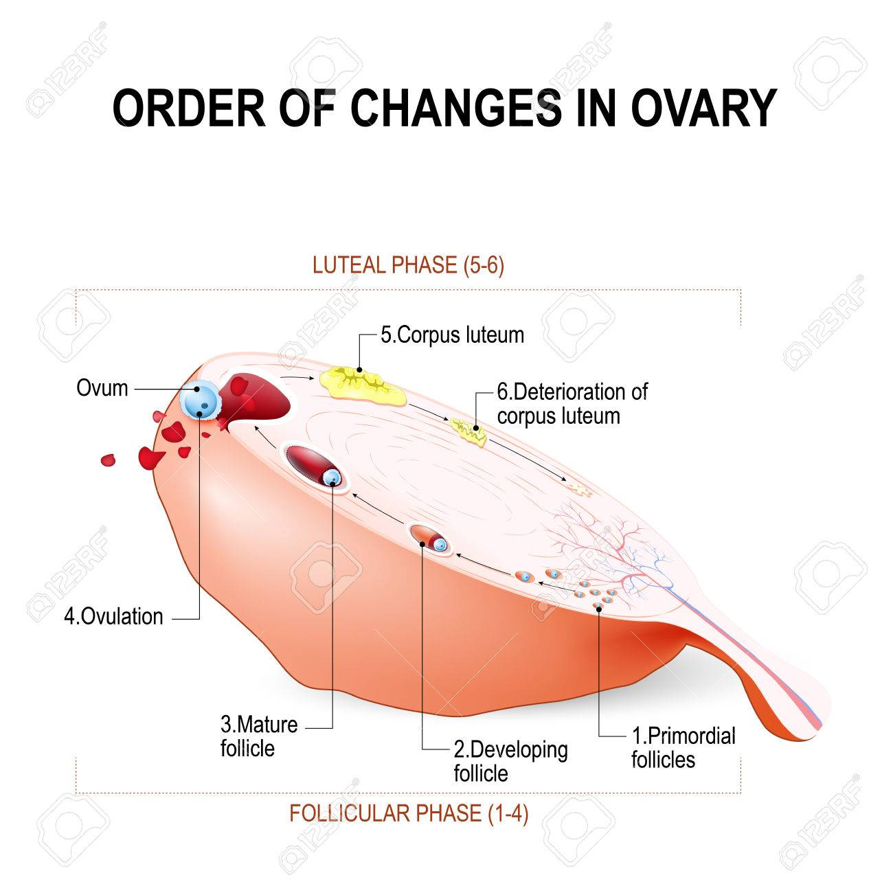 Order Of Changes In Ovary From Developing Follicle To Ovulation