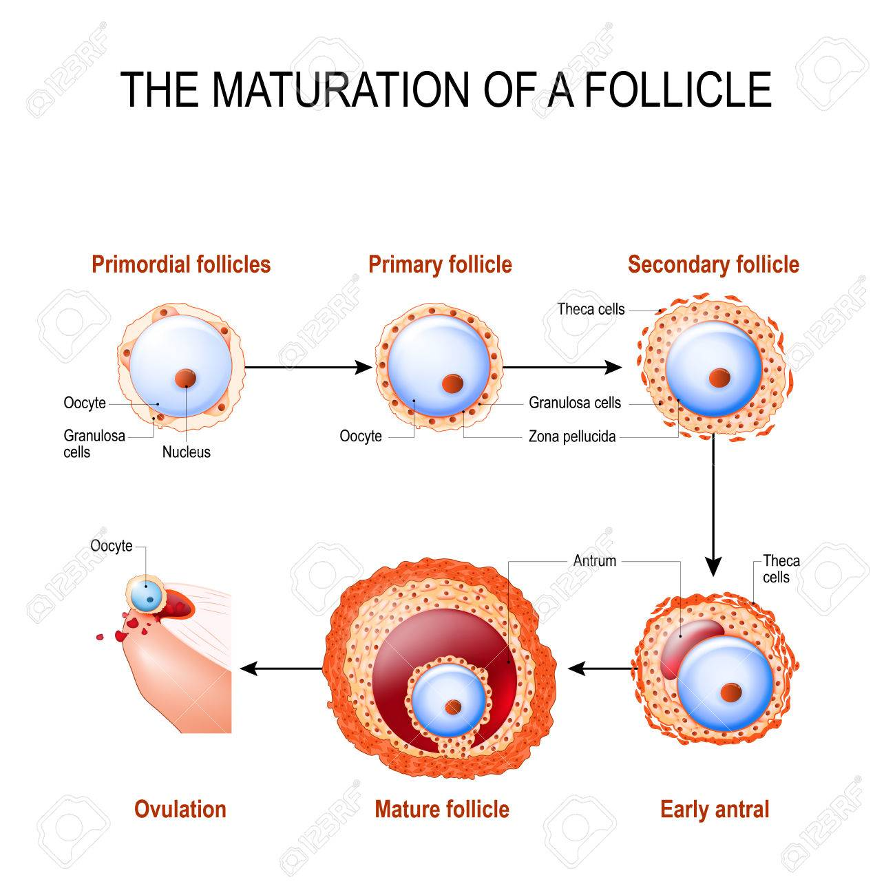 maturation of a follicle diagram of folliculogenesis royalty free