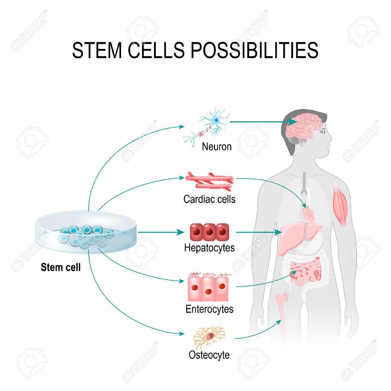Stammzellen Möglich. Diese Zellen Können Jedes Gewebe Im Körper ...