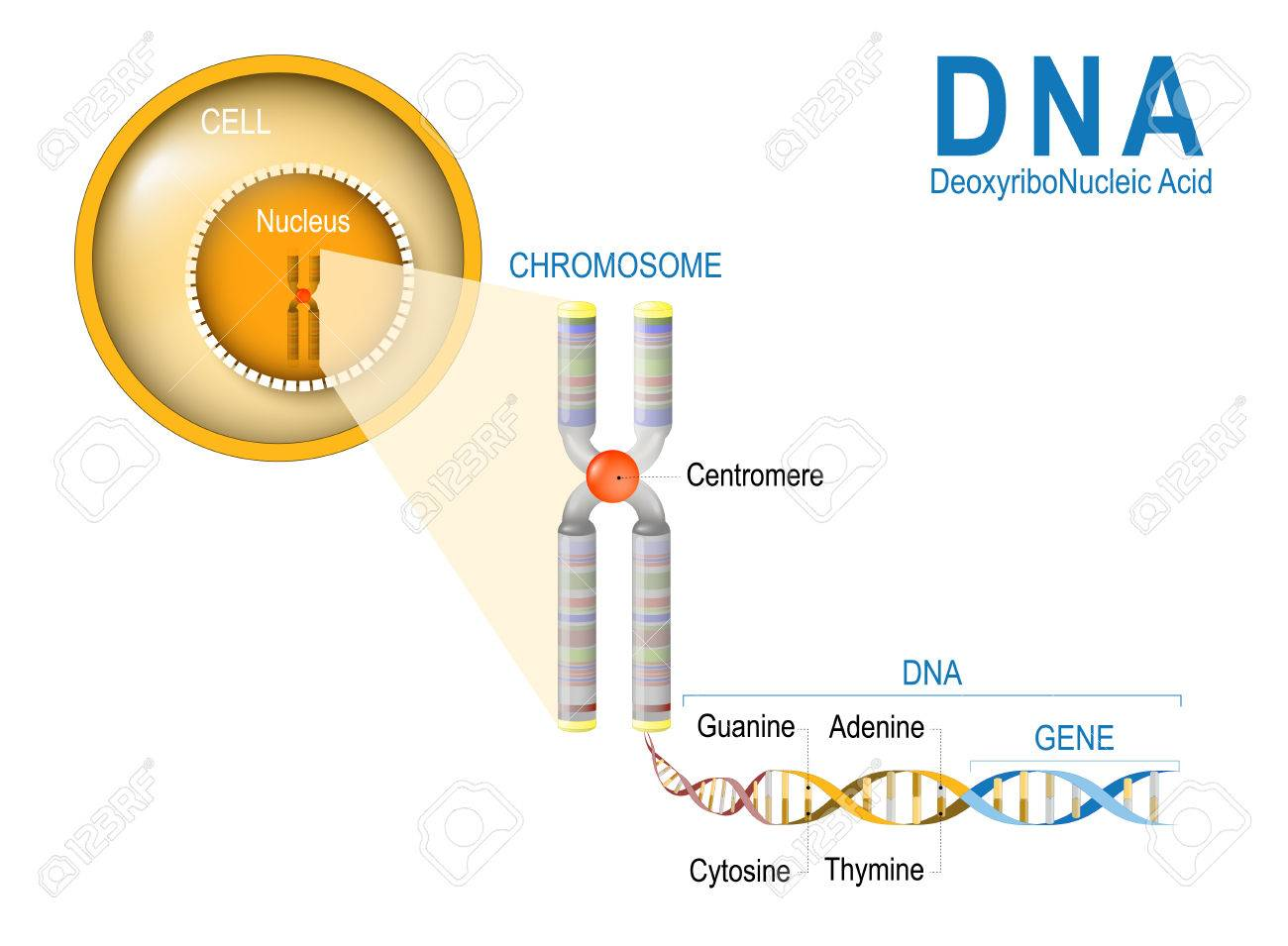 Cell chromosome dna and gene cell structure the dna molecule cell structure the dna molecule is a ccuart Images