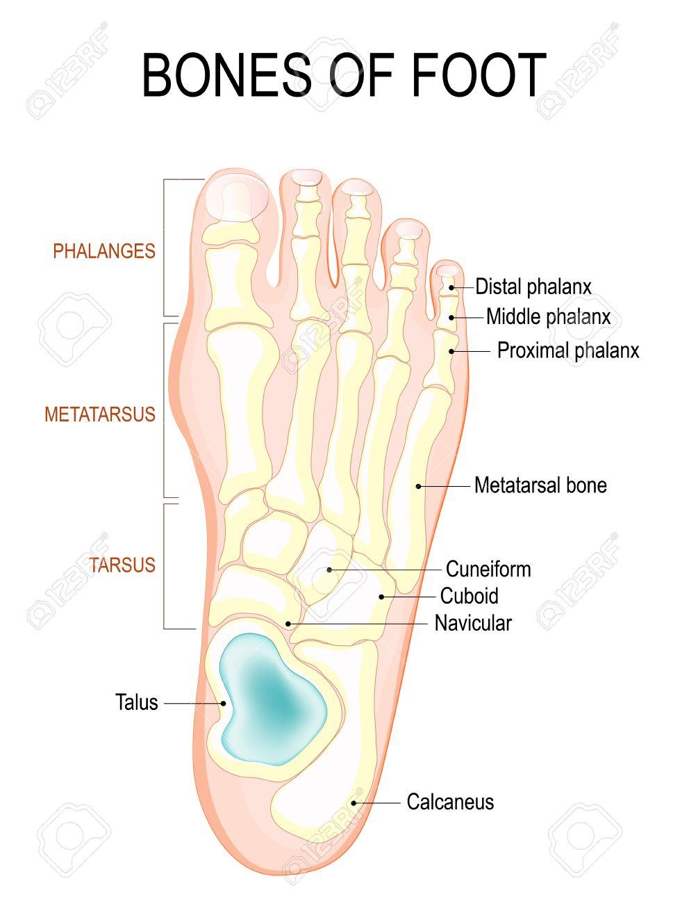 Knochen Des Fußes. Menschliche Anatomie. Das Diagramm Zeigt Die ...