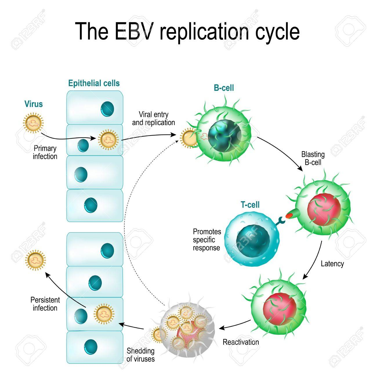 The epsteinbarr virus ebv replication cycle entry to the cell banco de imagens the epsteinbarr virus ebv replication cycle entry to the cell latency and reactivation human herpesvirus the cause of ccuart Images