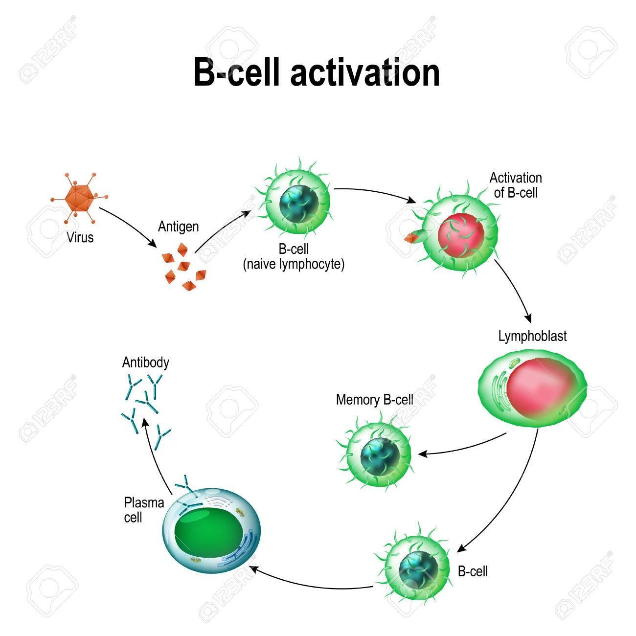 Activation of b cell leukocytes lymphoblast activation b cell activation of b cell leukocytes lymphoblast activation b cell memory publicscrutiny Gallery