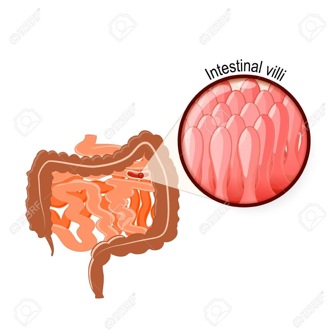 Gastrointestinal Tract Intestinal Villi Large And Small Intestine