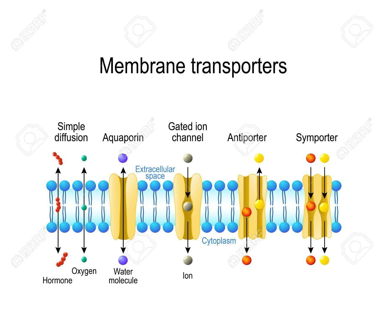 Mecanismos Para El Transporte De Iones Y Moléculas A Través De Las Membranas Celulares Tipos De Un Canal En La Membrana Celular Difusión Simple
