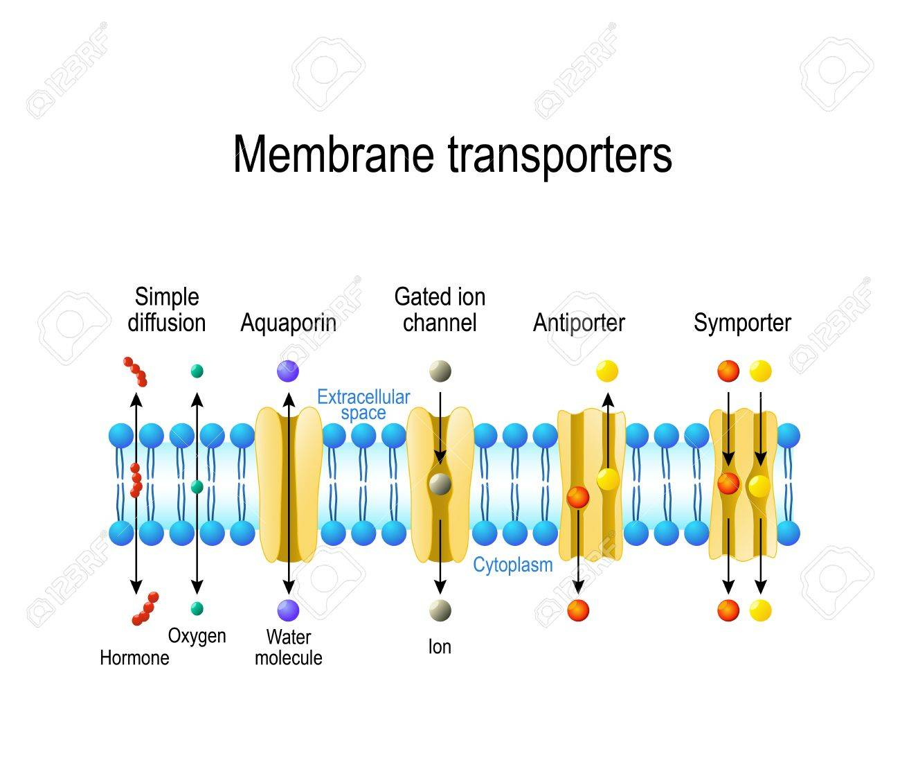 Mechanisms for the transport of ions and molecules across cell membranes. Types of a channel in the cell membrane: simple diffusion, Aquaporin, Gated ion channel, Symporter and Antiporter - 85898434