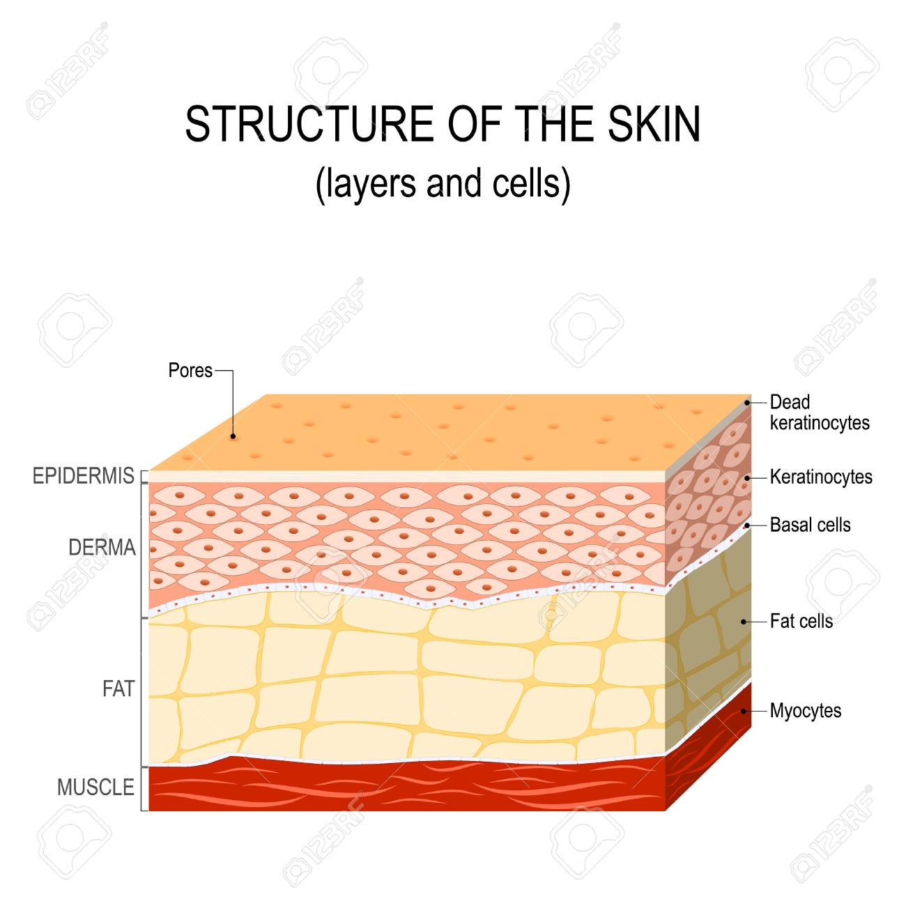 Structure Of The Human Skin Layers And Cells Royalty Free Cliparts