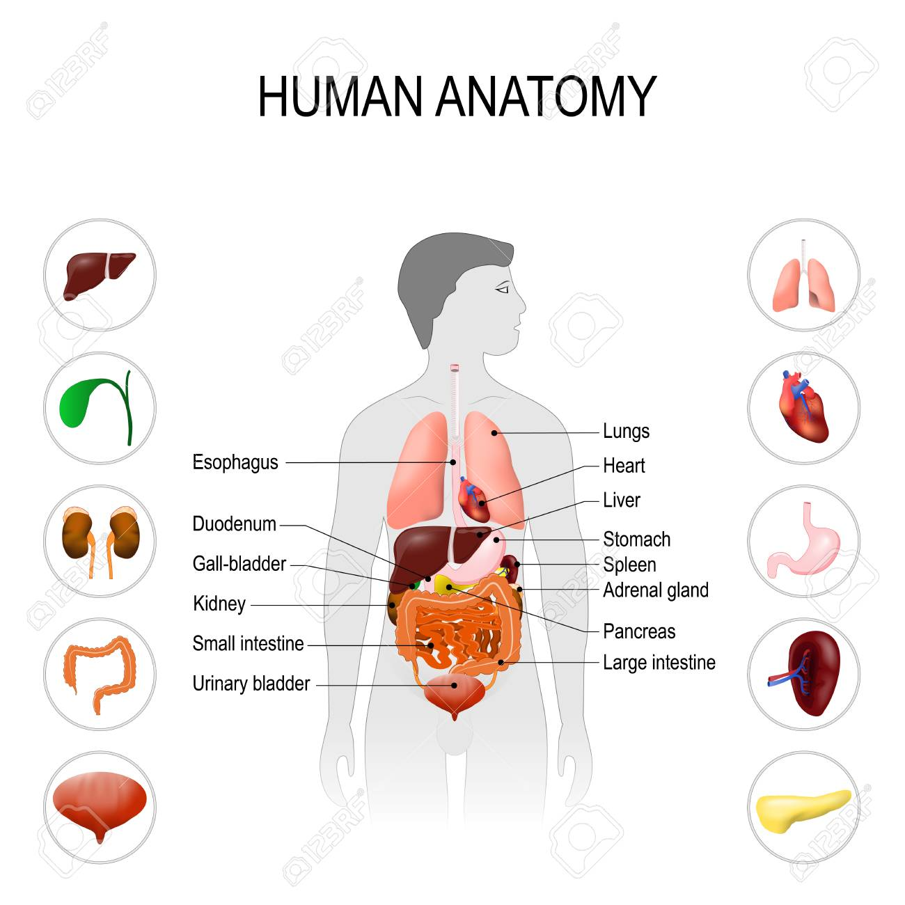 Human anatomy medical poster with internal organs on white human anatomy medical poster with internal organs on white background silhouette of a man ccuart Choice Image