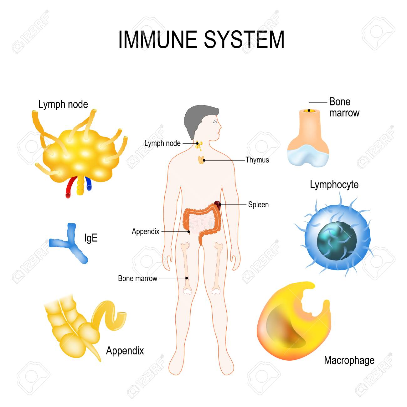 Sistema Inmune: Corte Transversal Del Hueso, IgE, Ganglio Linfático ...