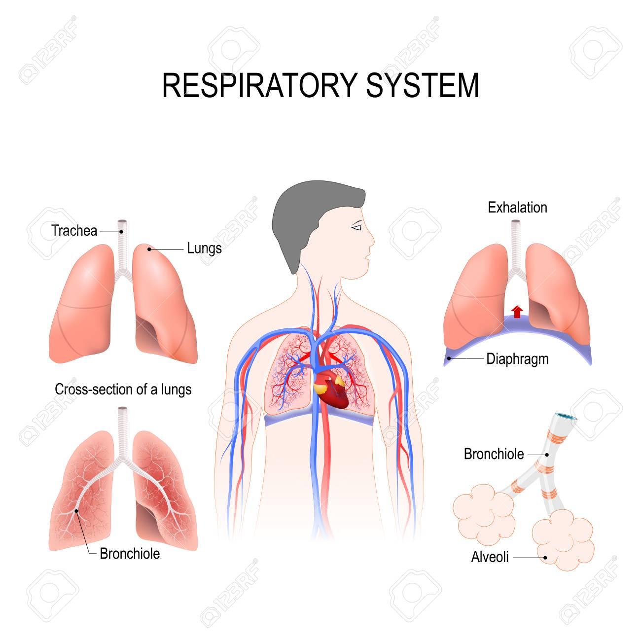 Respiratory System Bronchiole And Bronchi Diaphragm Trachea