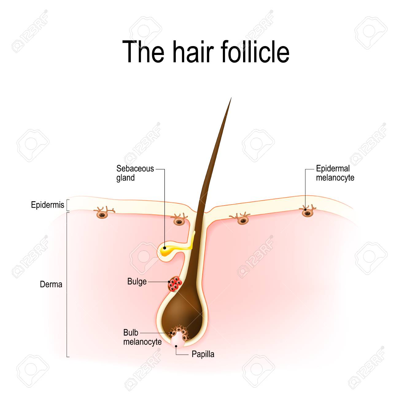 Anatomy Of The Hair Follicle. Distribution Of Differentiated ...