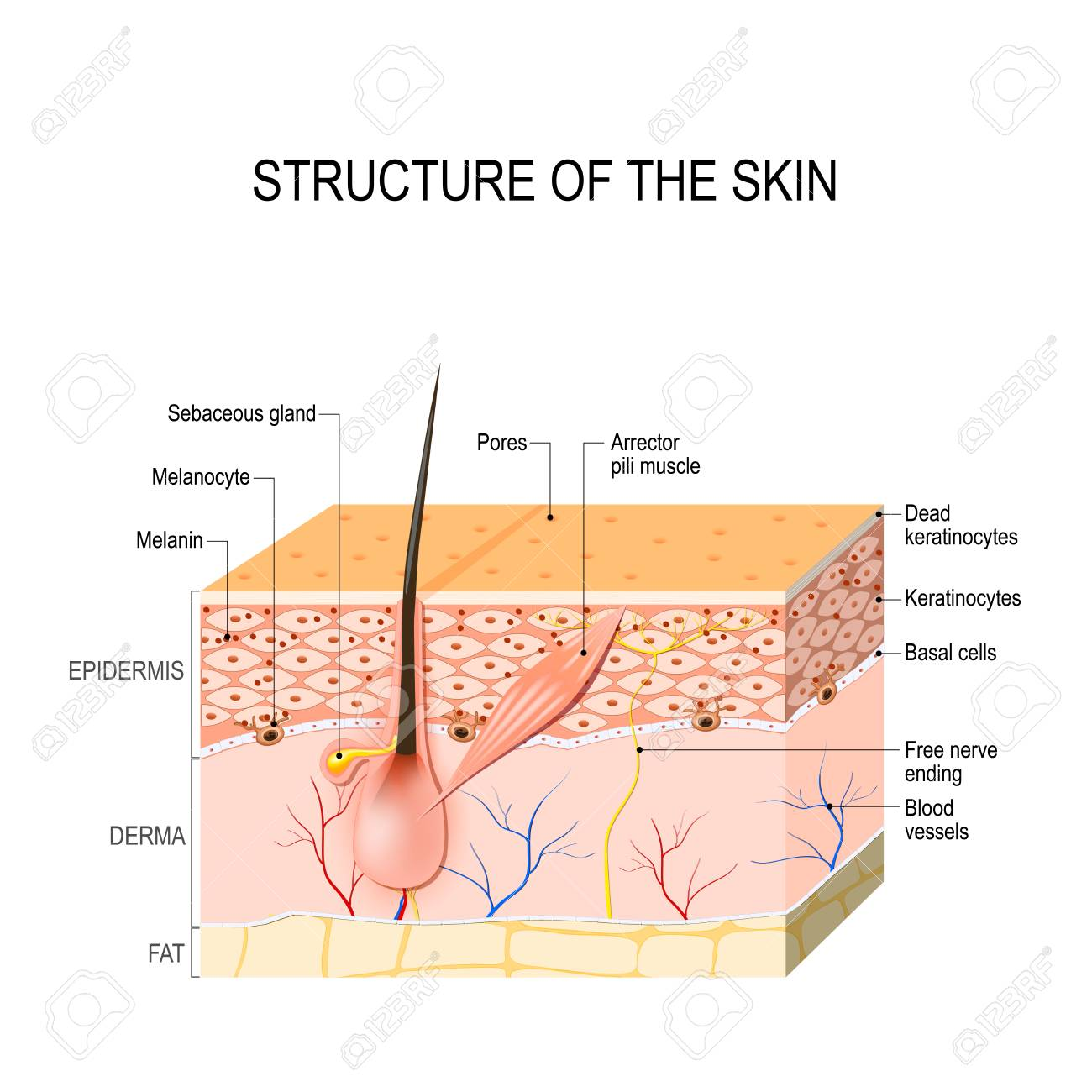 Healthy Human Skin. Hair Follicle, Cell Structure And Layers ...
