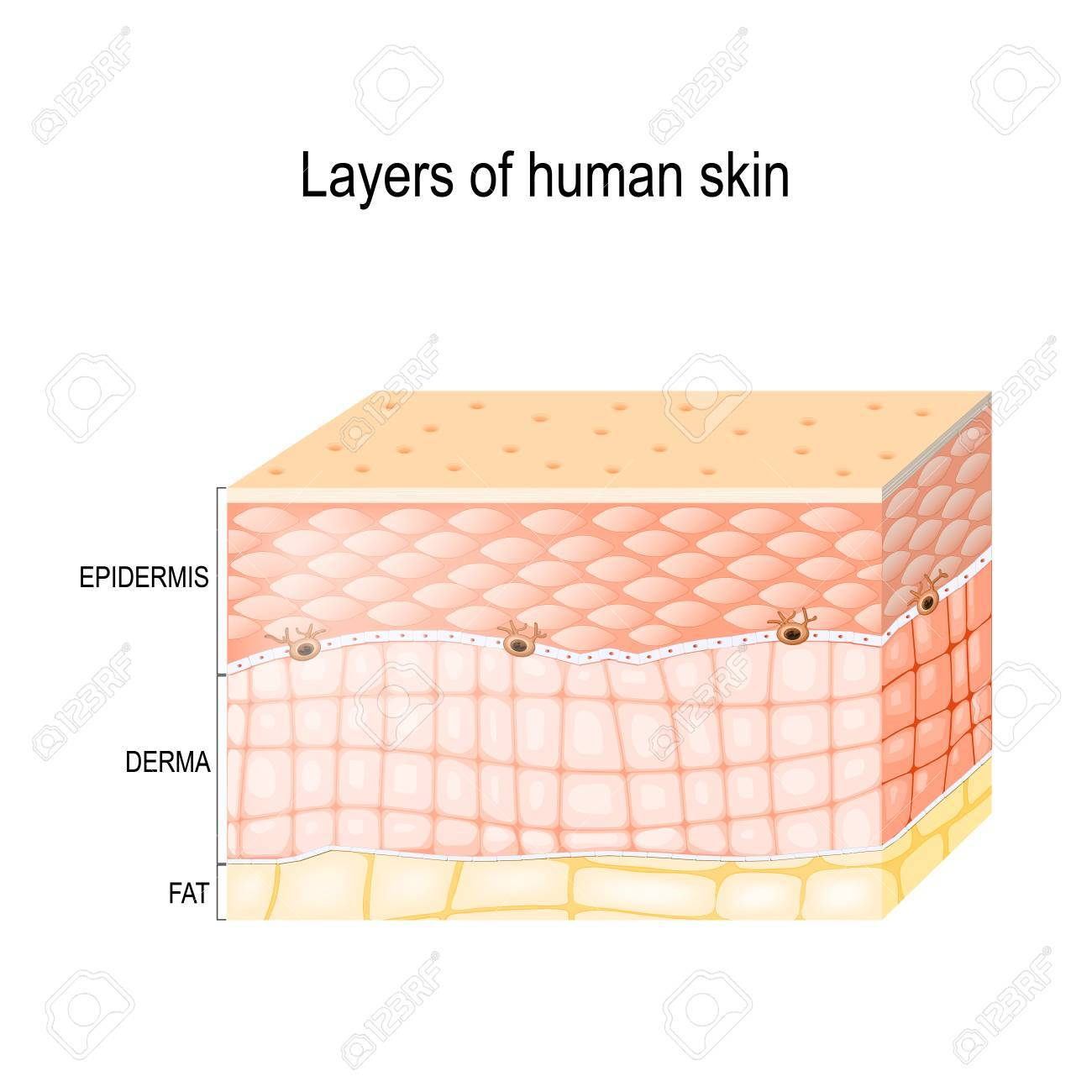 layers of skin  epidermis (horny layer and granular layer), dermis  (connective