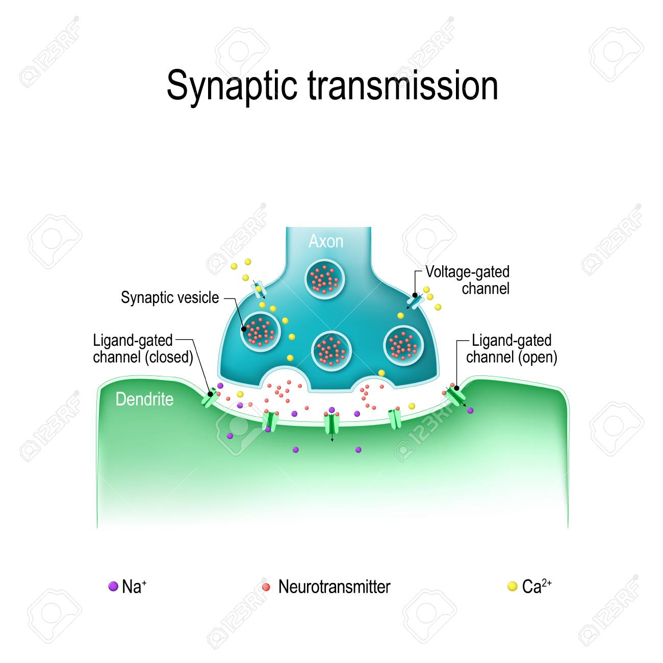 Synaptic transmission. Structure of a typical chemical synapse. Neurotransmitter release mechanisms. Neurotransmitters are packaged into synaptic vesicles transmit signals from a neuron to a target cell. - 89478665