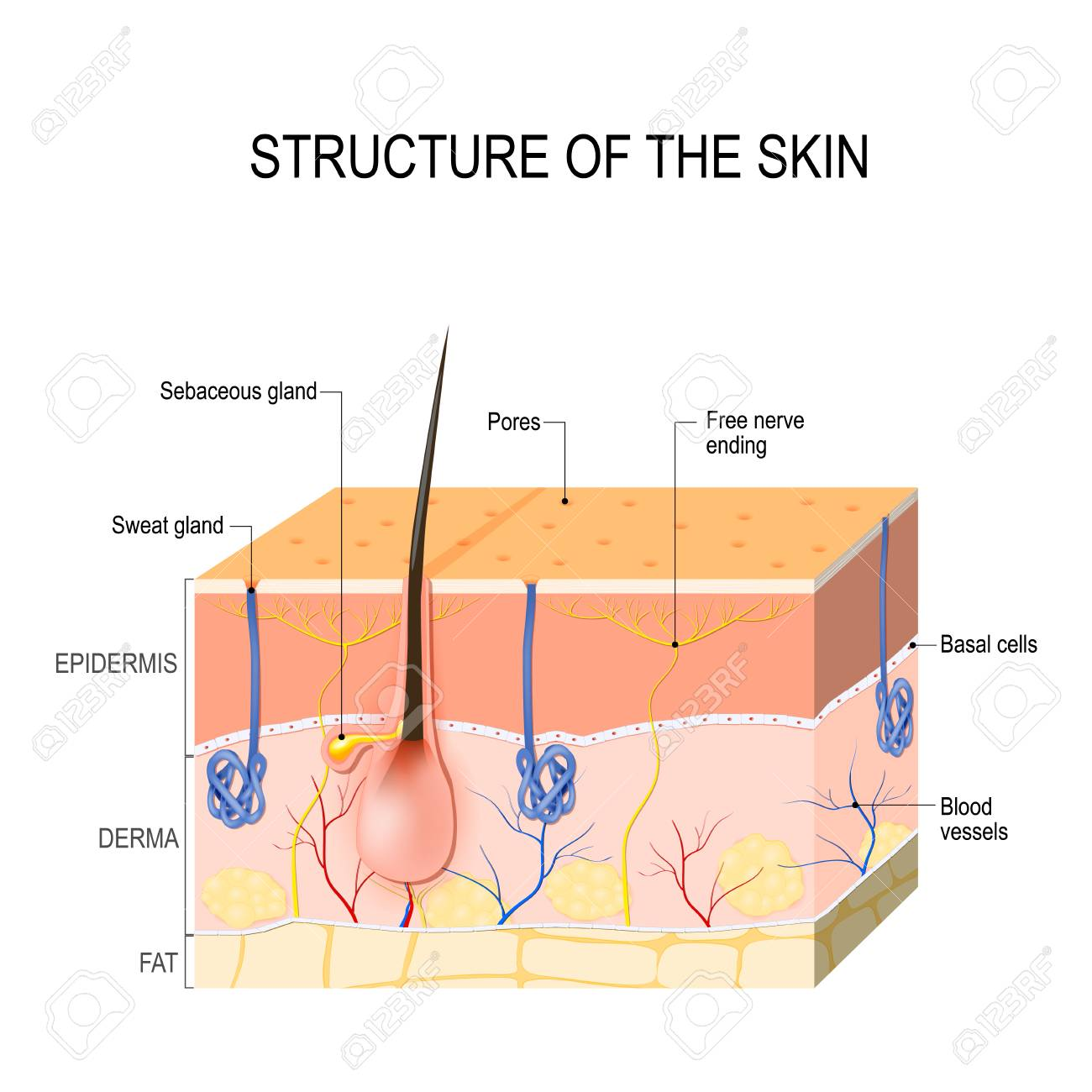 Structure Of The Skin Skin Layers With Blood Vessel Free Nerve