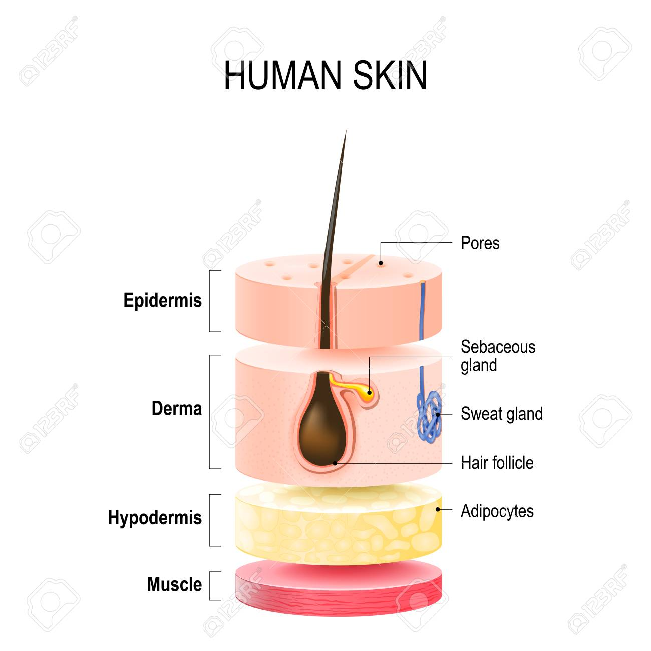 Layers Of Human Skin with hair follicle, sweat and sebaceous glands. Epidermis, dermis, hypodermis and muscle tissue. Vector illustration for your design and medical use - 90848663