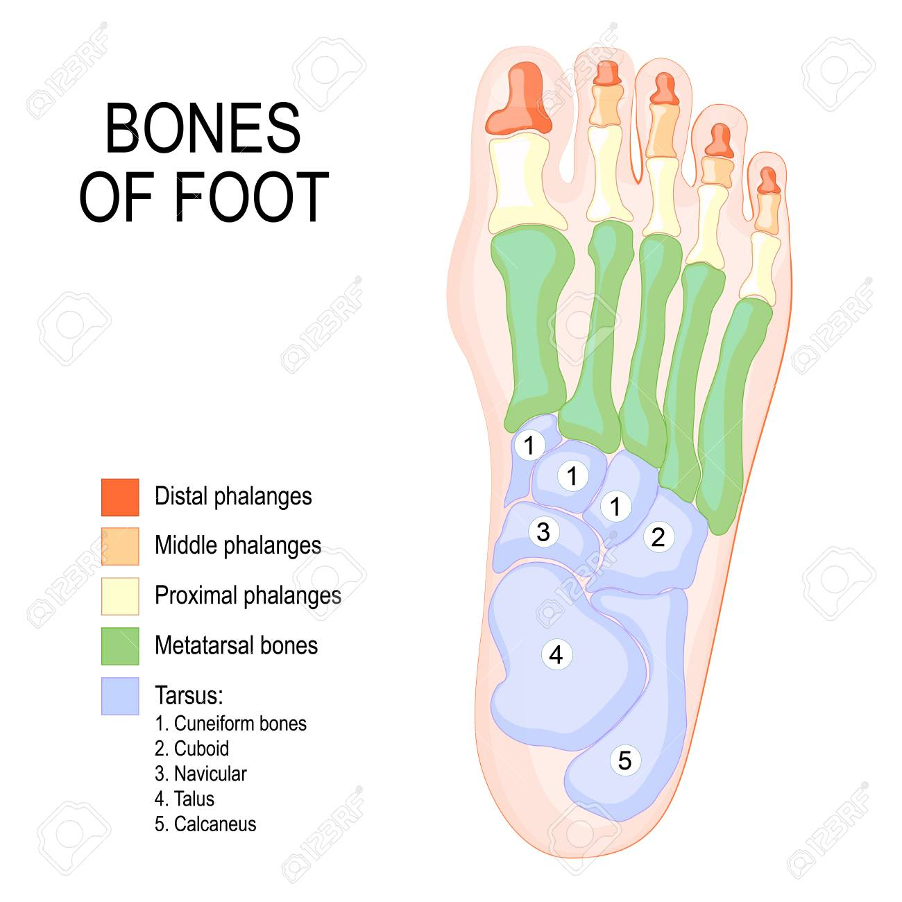 Bones Of Foot Human Anatomy The Diagram Shows The Placement