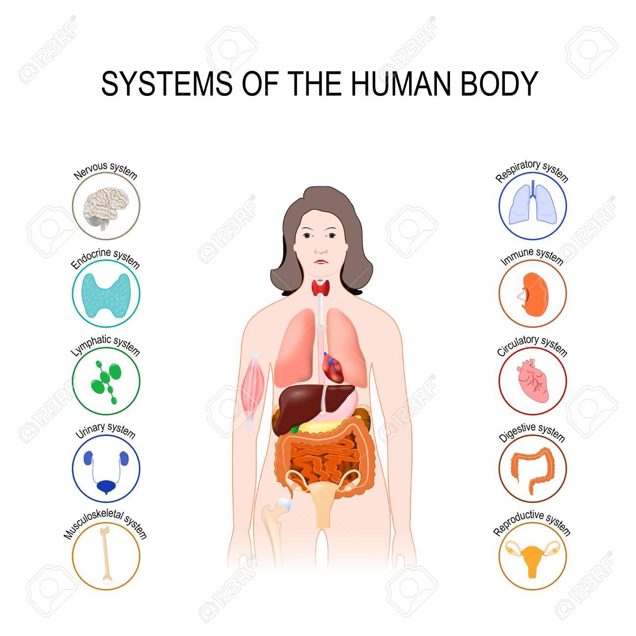Frau organe körper innere Der Menschliche