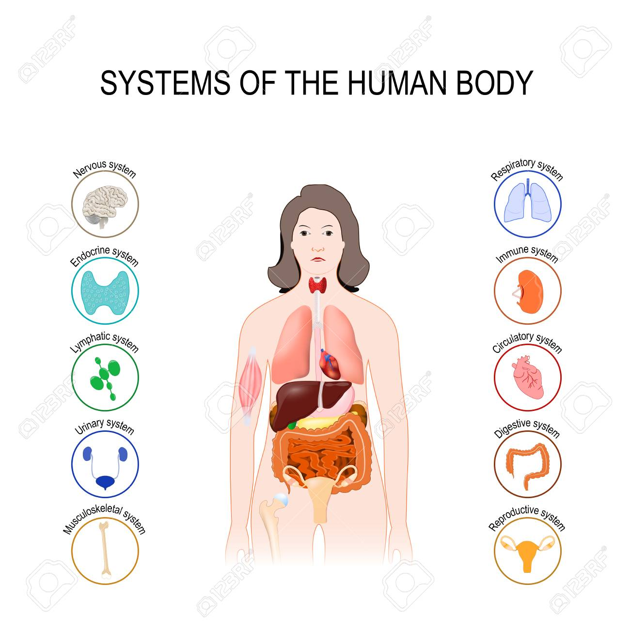Systems Of The Human Body Set Medical Poster With Internal Organs