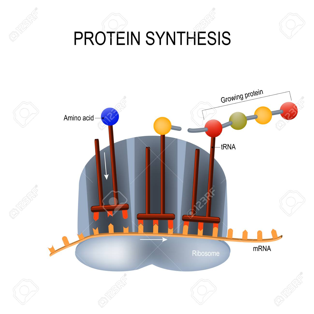 Protein Synthesis illustration