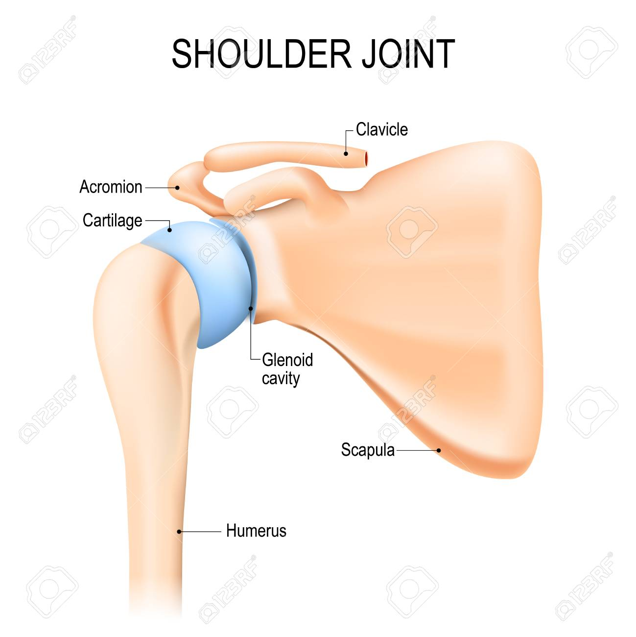 Shoulder (glenohumeral) Joint. Human Anatomy. Vector Diagram ...