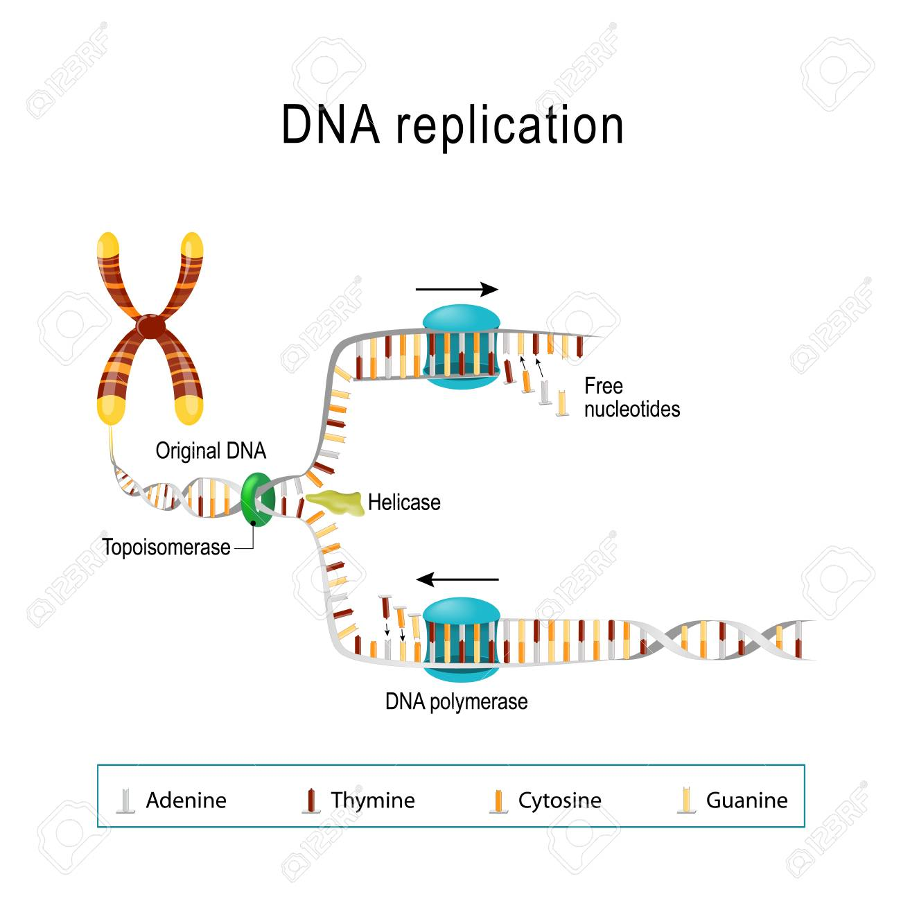 DNA Replication. Double Helix Is Unwound. Each Separated Strand ...