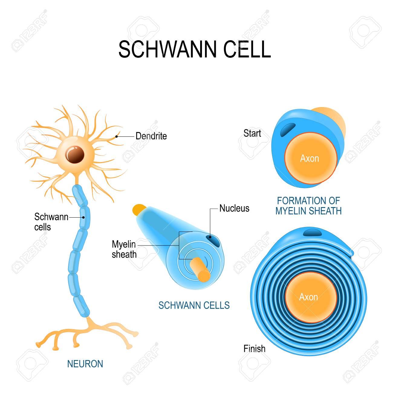 Anatomy Of Neuron Images - human body anatomy