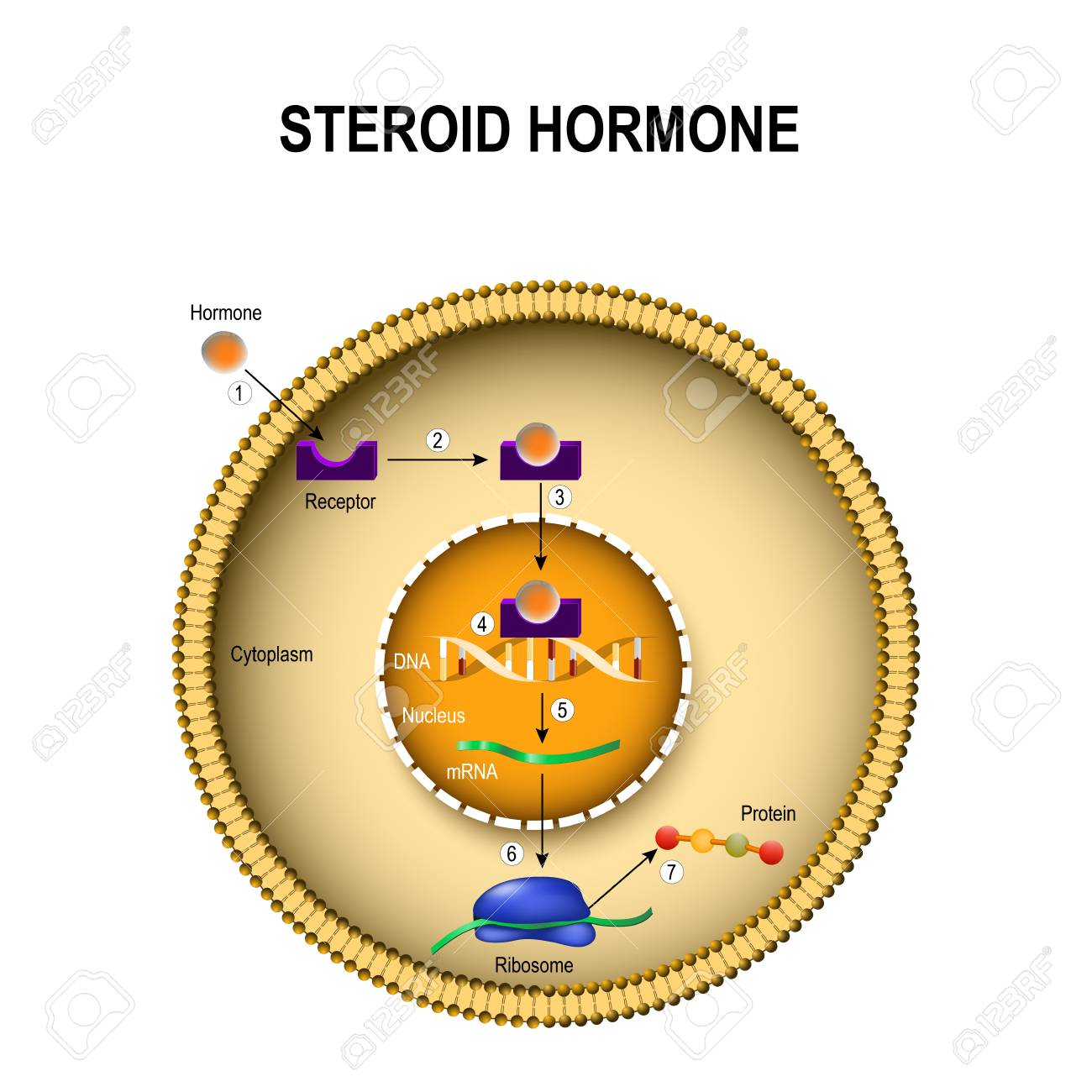 How steroid hormones work. interaction of the hormone with the intracellular receptor. Human endocrine signaling system - 94877768