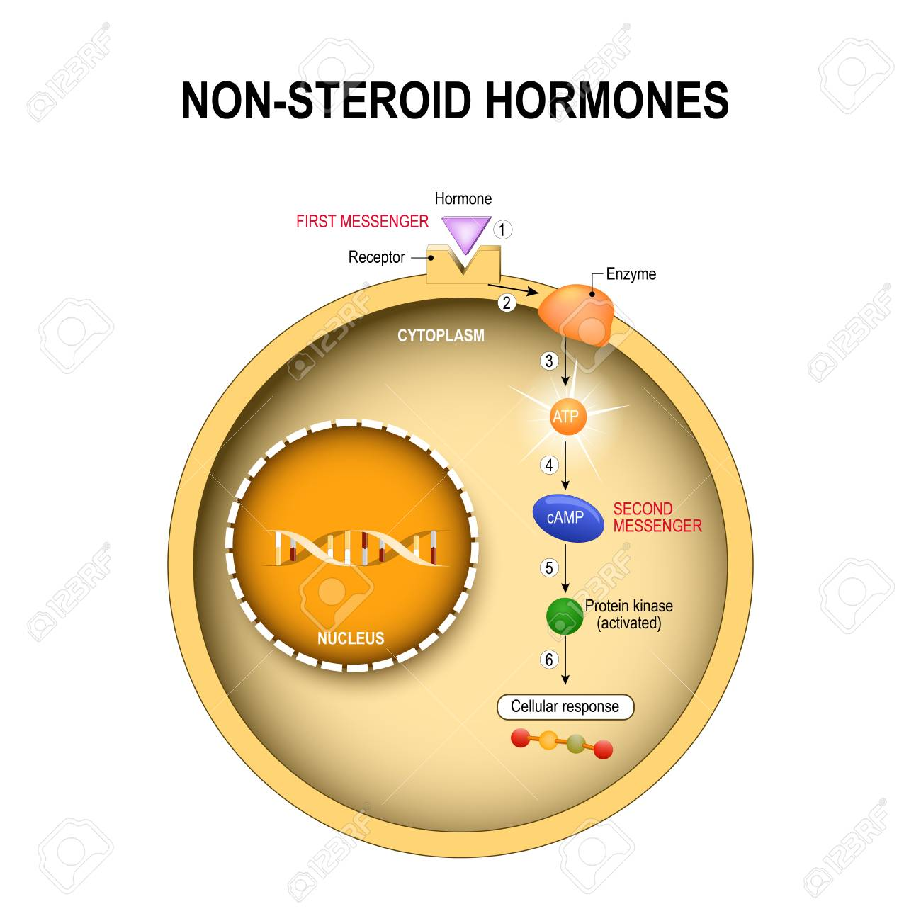 Animal cell with nucleus, cytoplasm, DNA, enzime, protein kinase, receptor, and hormone, how non-steroid hormones work. Non-steroid hormones interact with receptors on the cell membrane and activate secondary messenger systems that carry out their effects within the cell. Human endocrine system. - 95210326