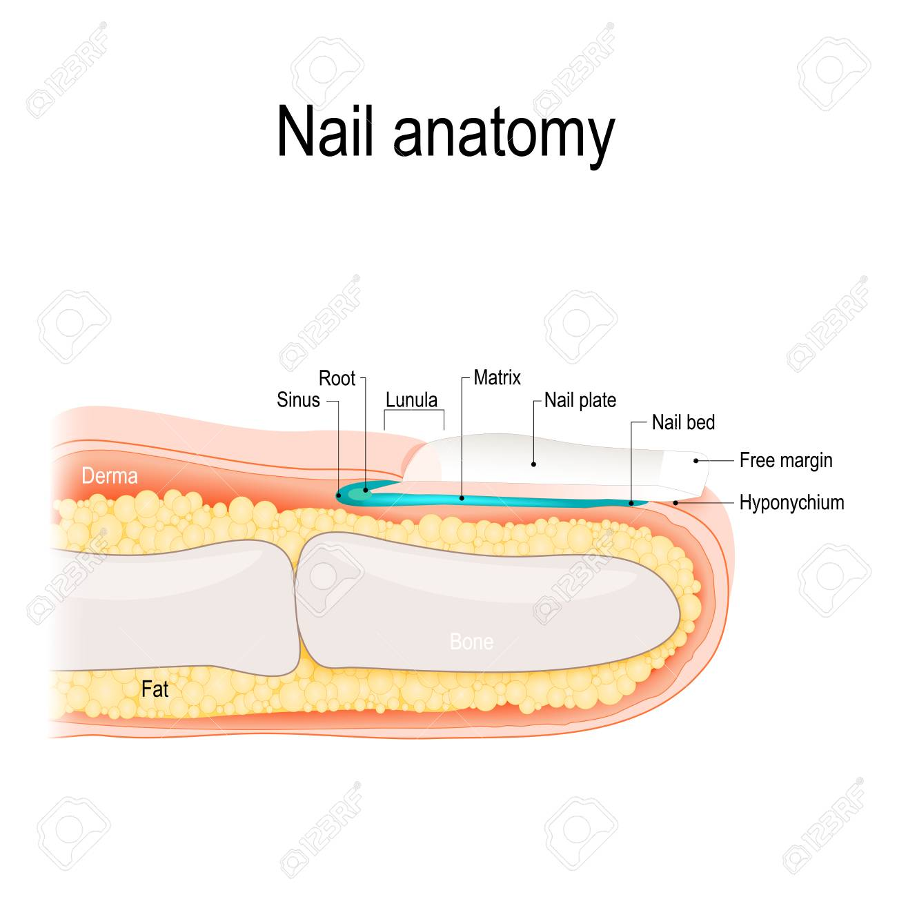 Structure Of The Nail. Human Anatomy Illustration. Royalty Free ...