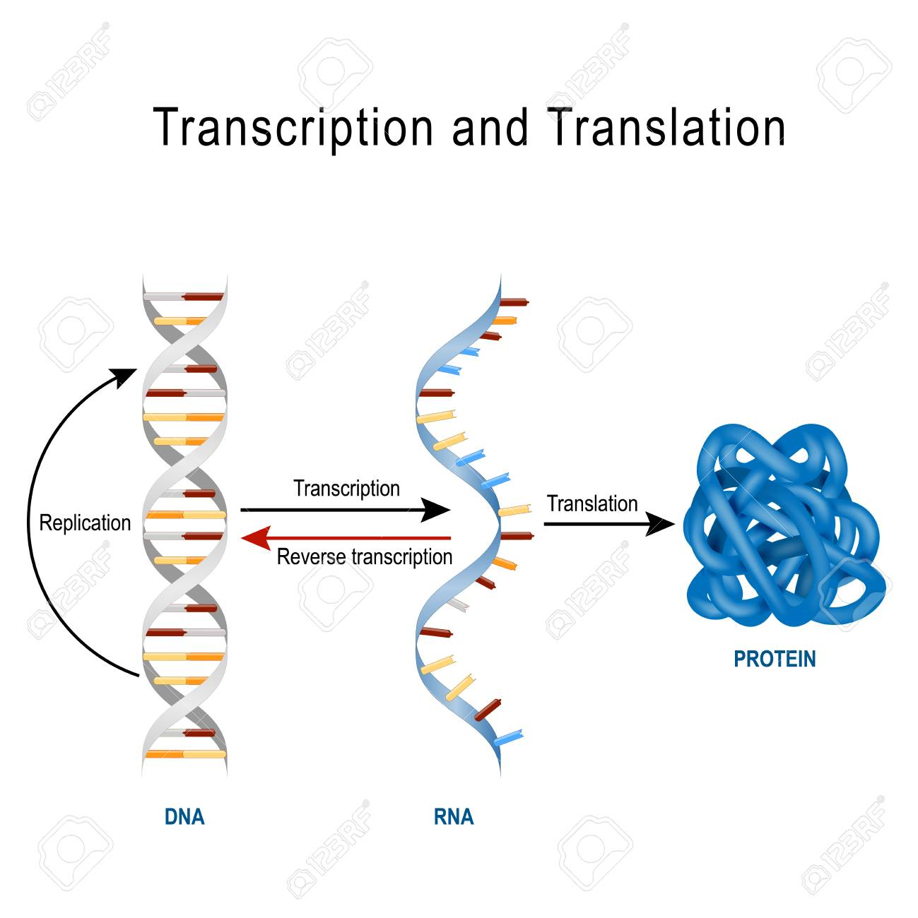 DNA Replication, Protein synthesis, Transcription and translation. Biological functions of DNA. Genes and genomes. Genetic code - 97546060