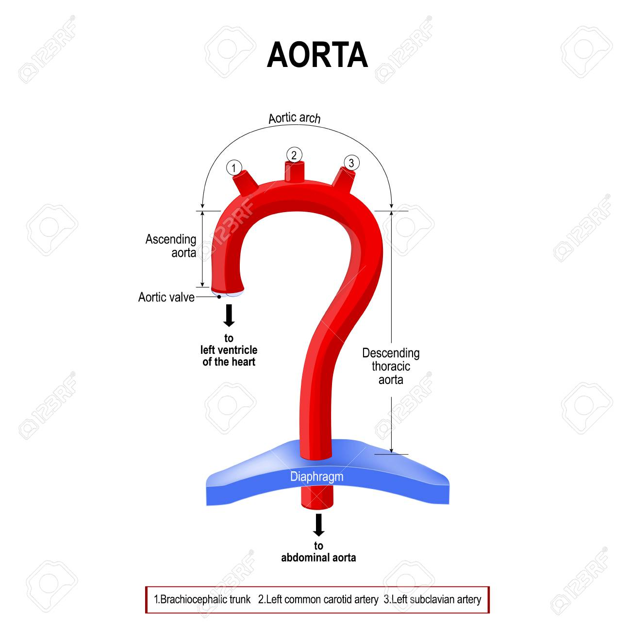 97470787 schematic view of the aorta segments labeled diagram human anatomy schematic view of the aorta segments labeled diagram human