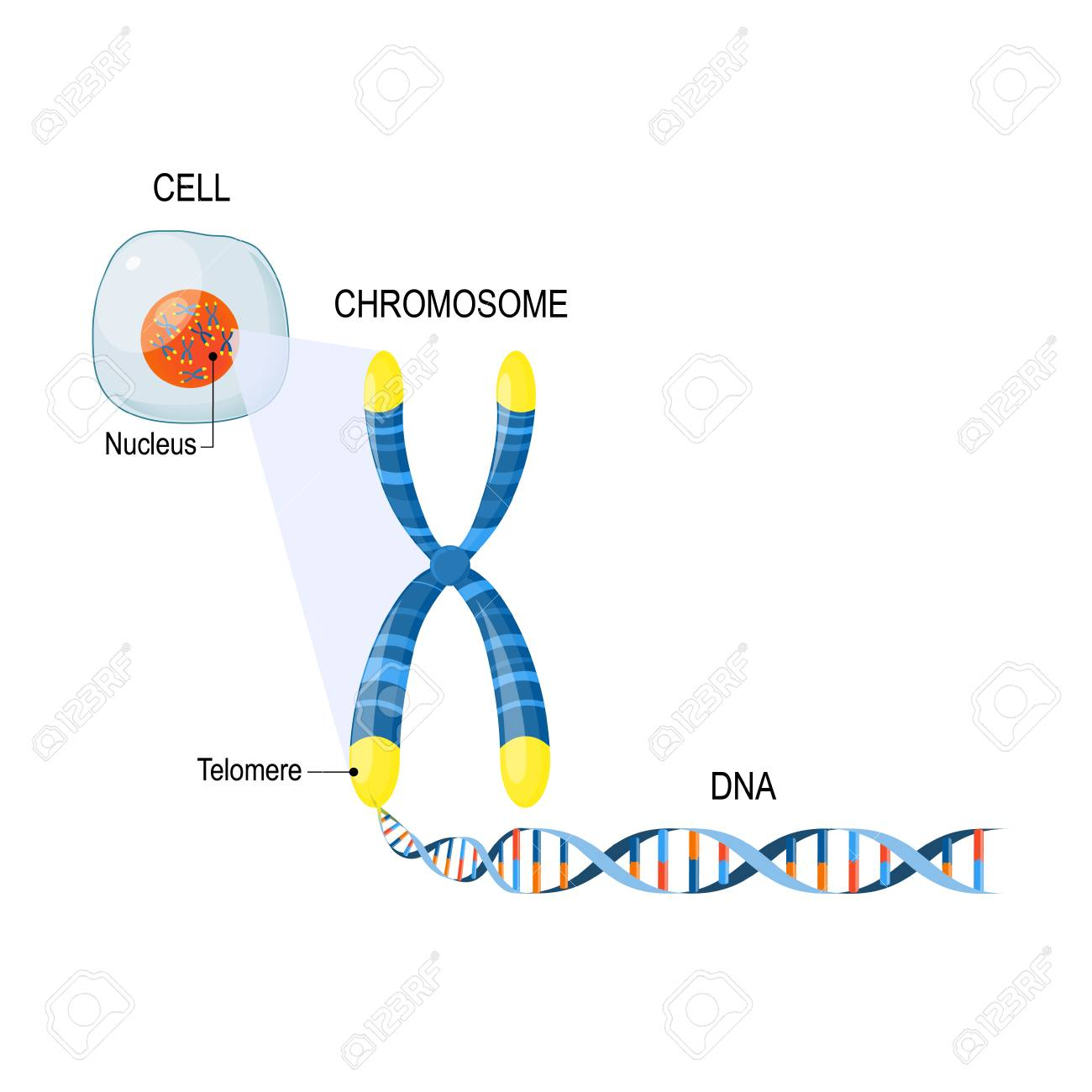 A telomere is a repeating sequence of double-stranded DNA located at the ends of chromosomes. Each time a cell divides, the telomeres become shorter. Cell Structure. The DNA molecule is a double helix. A gene is a length of DNA that codes for a specific protein. Genome Study. Cell, nucleus with chromosomes, telomeres, DNA, and gene - 97574722
