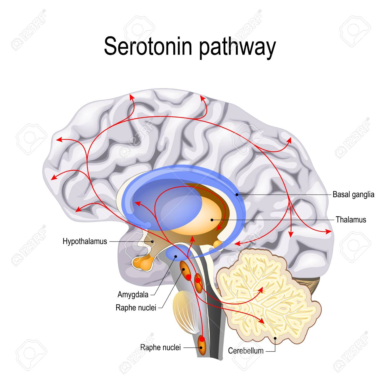 Serotonin pathway. Humans brain with serotonin pathways. psychiatric and neurological disorders. - 102772841