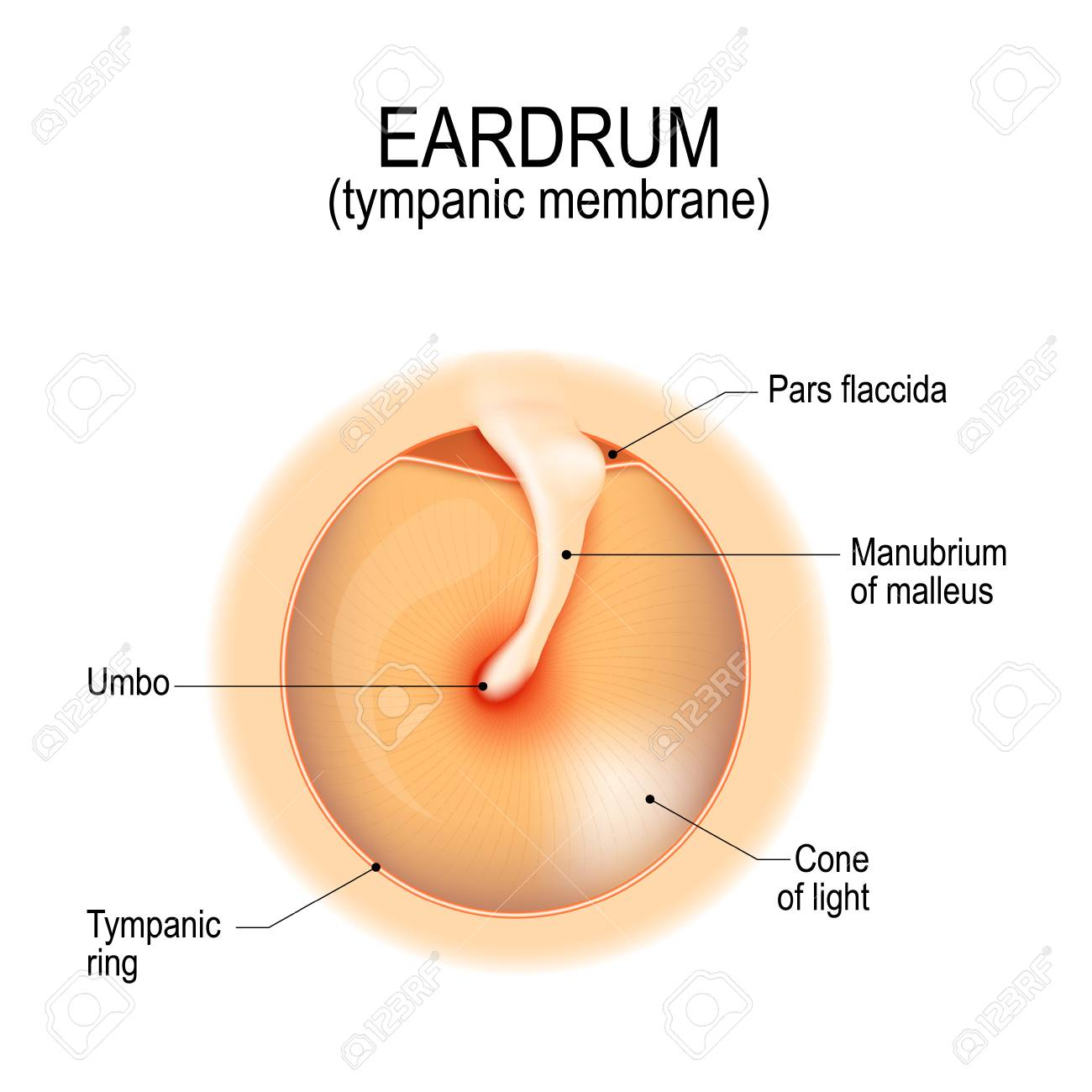 Anatomy Of The Humans Eardrum. Tympanic Membrane. Myringa. Vector ...