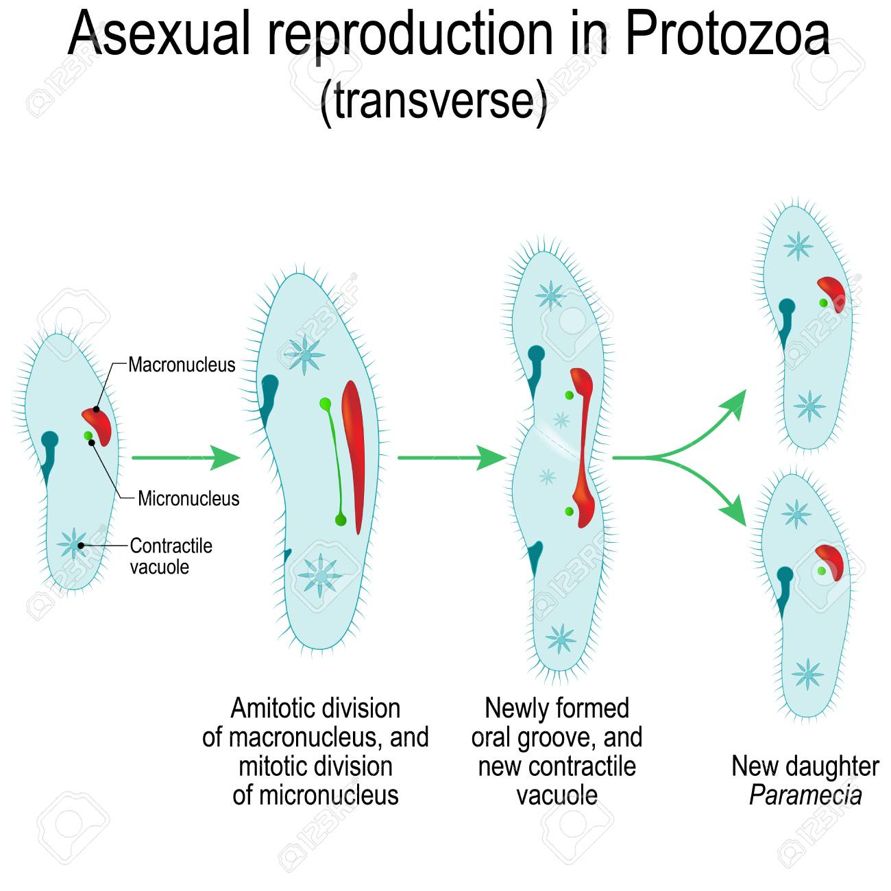 Asexual reproduction in Protozoa (transverse)  Paramecia division
