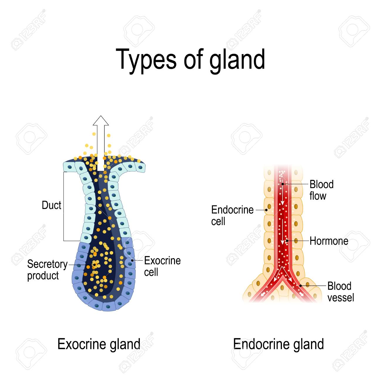 Types Of Gland Anatomy Of An Endocrine And Exocrine Glands