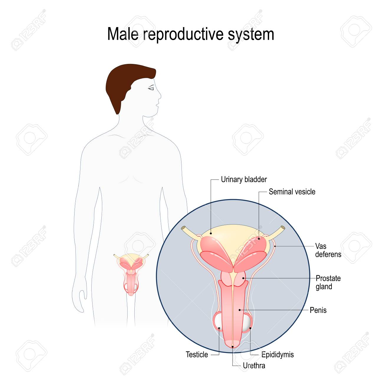 Male Reproductive System Seminal Vesicle Vas Deferens Prostate